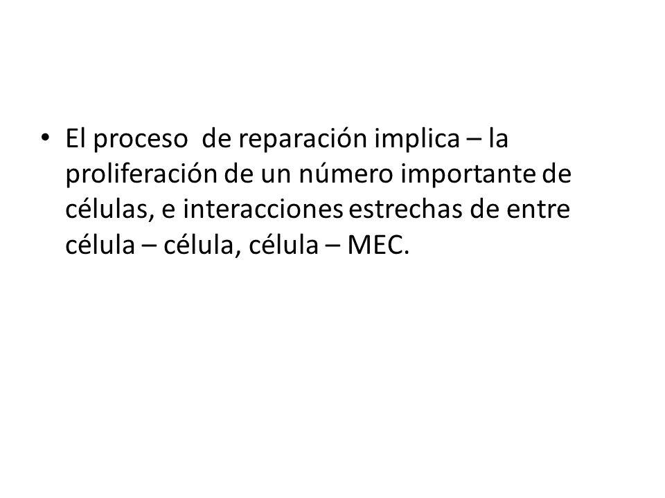 El proceso de reparación implica – la proliferación de un número importante de células, e interacciones estrechas de entre célula – célula, célula – M