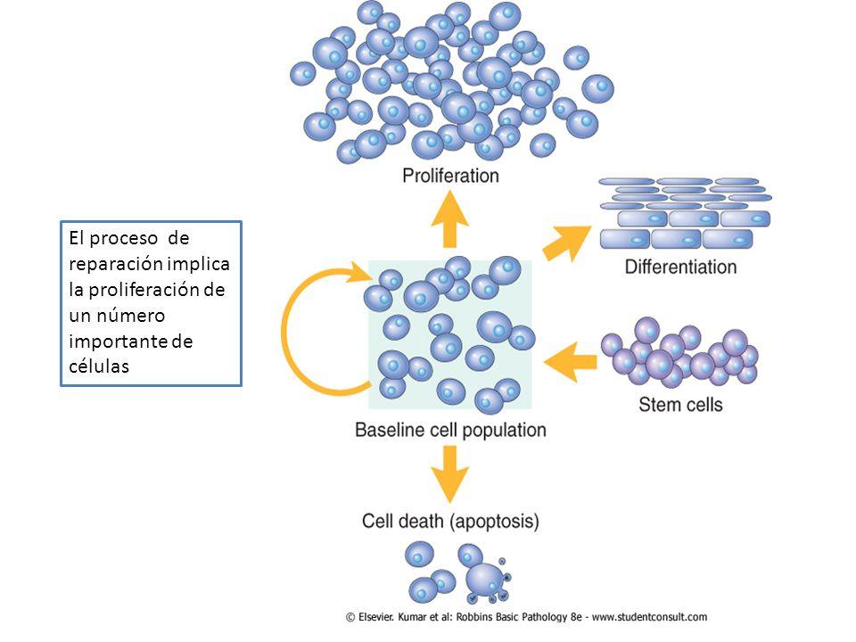 El proceso de reparación implica la proliferación de un número importante de células