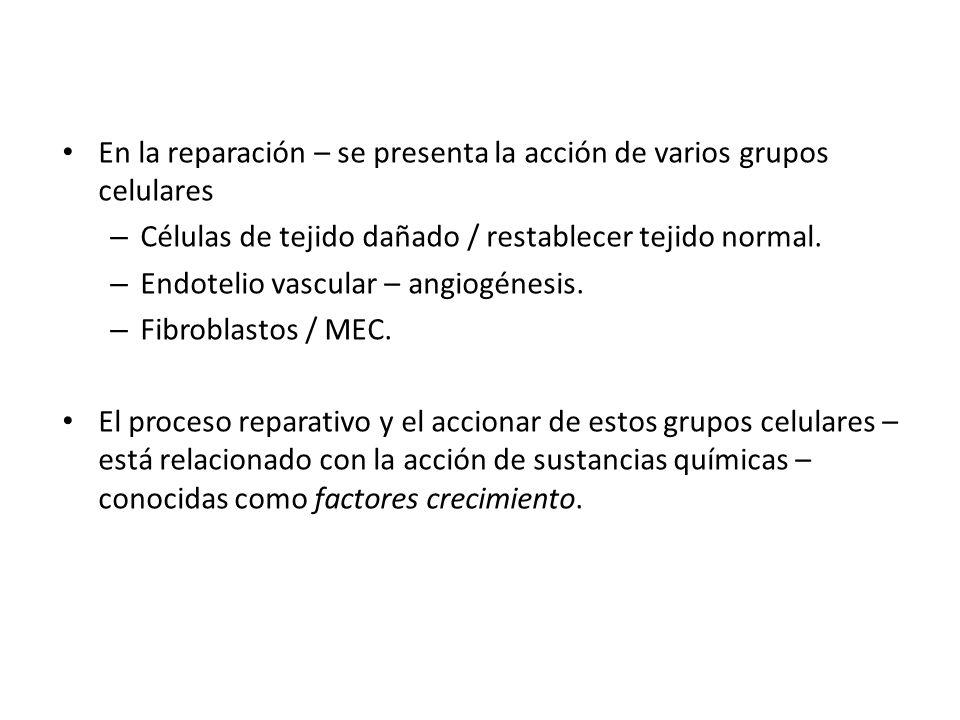 En la reparación – se presenta la acción de varios grupos celulares – Células de tejido dañado / restablecer tejido normal. – Endotelio vascular – ang