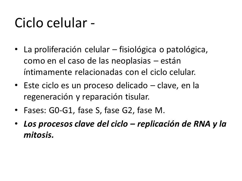 Ciclo celular - La proliferación celular – fisiológica o patológica, como en el caso de las neoplasias – están íntimamente relacionadas con el ciclo c