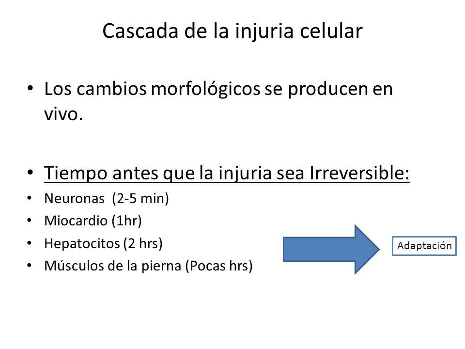 Cascada de la injuria celular Los cambios morfológicos se producen en vivo. Tiempo antes que la injuria sea Irreversible: Neuronas (2-5 min) Miocardio