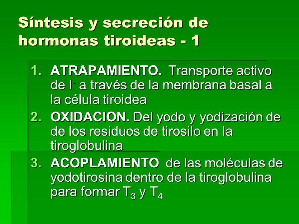 Síntesis y secreción de hormonas tiroideas - 1 1.ATRAPAMIENTO. Transporte activo de I - a través de la membrana basal a la célula tiroidea 2.OXIDACION