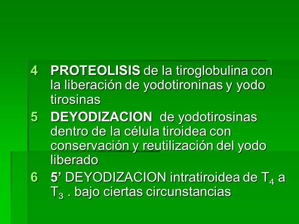 4PROTEOLISIS de la tiroglobulina con la liberación de yodotironinas y yodo tirosinas 5DEYODIZACION de yodotirosinas dentro de la célula tiroidea con c