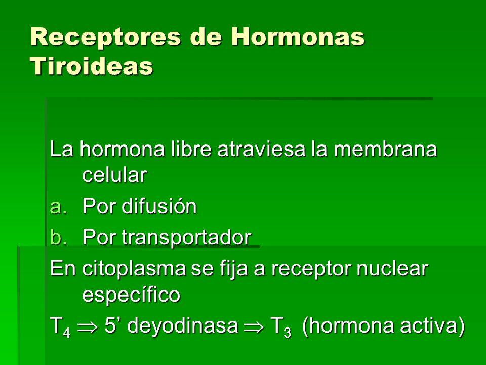 Receptores de Hormonas Tiroideas La hormona libre atraviesa la membrana celular a.Por difusión b.Por transportador En citoplasma se fija a receptor nu