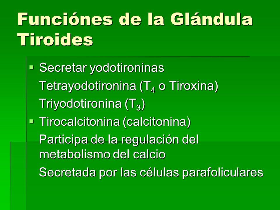 Funciónes de la Glándula Tiroides Secretar yodotironinas Secretar yodotironinas Tetrayodotironina (T 4 o Tiroxina) Tetrayodotironina (T 4 o Tiroxina)