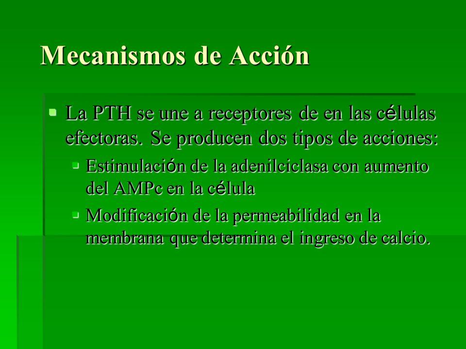 Mecanismos de Acción La PTH se une a receptores de en las c é lulas efectoras. Se producen dos tipos de acciones: La PTH se une a receptores de en las
