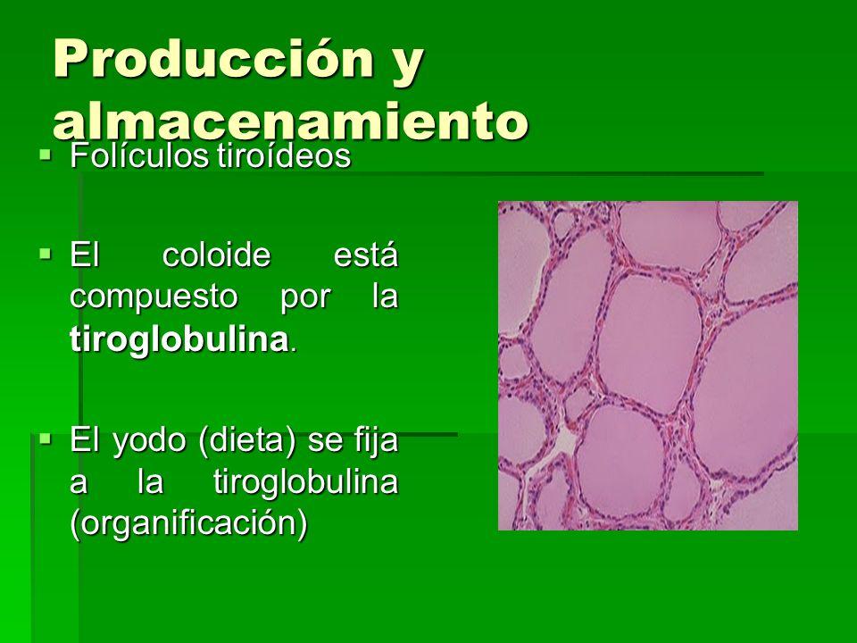 Producción y almacenamiento Folículos tiroídeos Folículos tiroídeos El coloide está compuesto por la tiroglobulina. El coloide está compuesto por la t