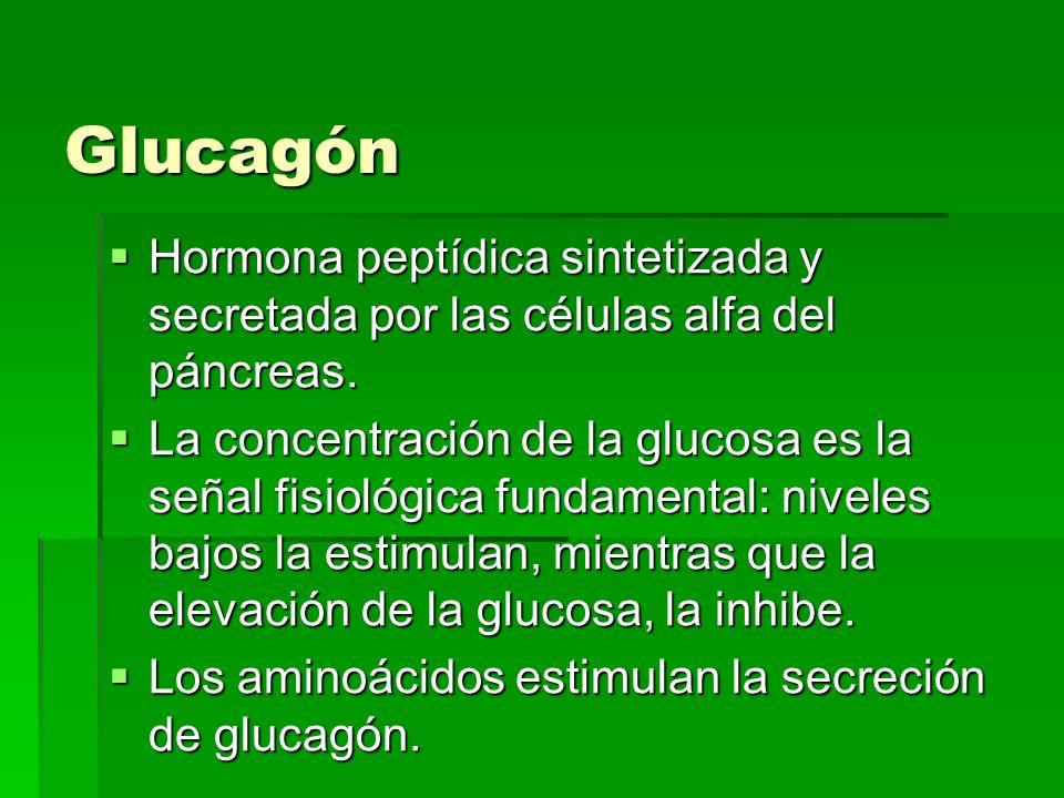 Glucagón Hormona peptídica sintetizada y secretada por las células alfa del páncreas. Hormona peptídica sintetizada y secretada por las células alfa d