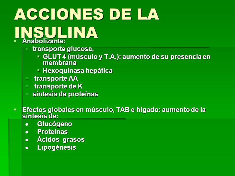 ACCIONES DE LA INSULINA Anabolizante: Anabolizante: transporte glucosa, transporte glucosa, GLUT 4 (músculo y T.A.): aumento de su presencia en membra