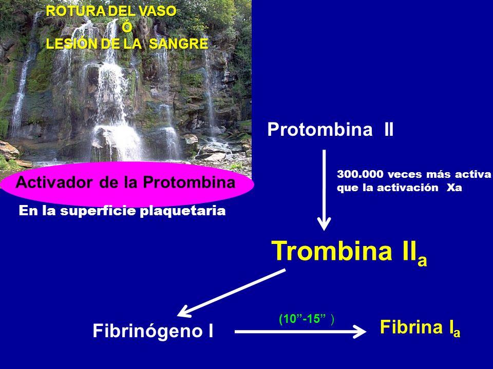Protombina II Trombina II a Fibrinógeno I Fibrina I a (10-15 ) ROTURA DEL VASO Ó LESIÓN DE LA SANGRE Activador de la Protombina En la superficie plaqu
