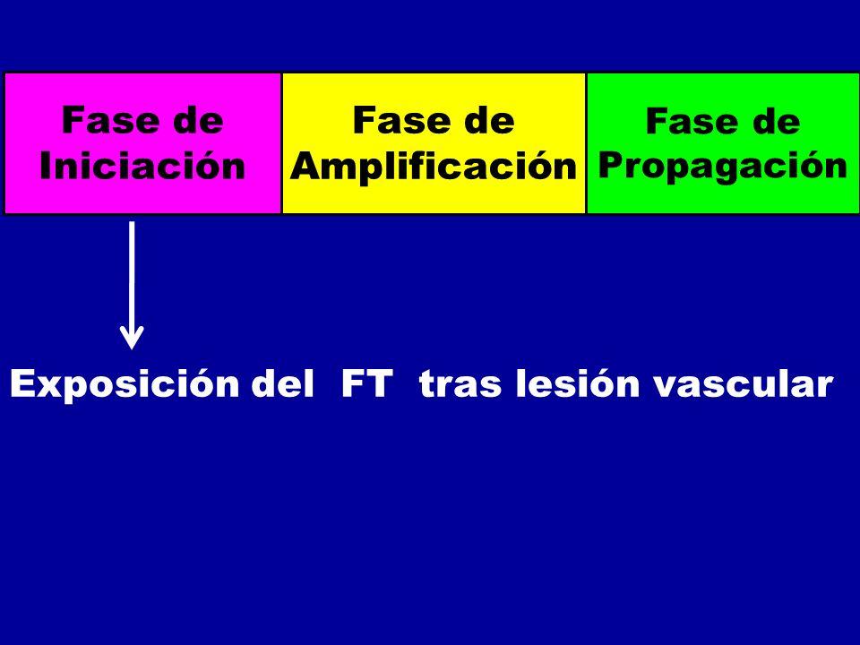 Fase de Iniciación Fase de Amplificación Fase de Propagación Exposición del FT tras lesión vascular