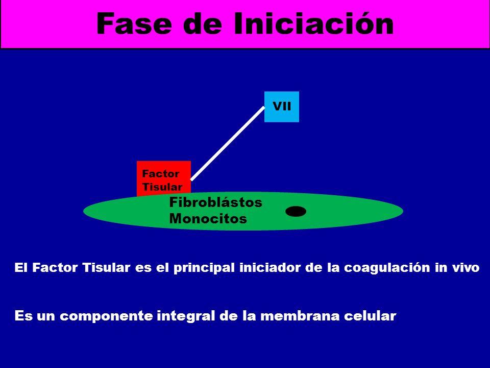 Fase de Iniciación Factor Tisular VII Fibroblástos Monocitos El Factor Tisular es el principal iniciador de la coagulación in vivo Es un componente in