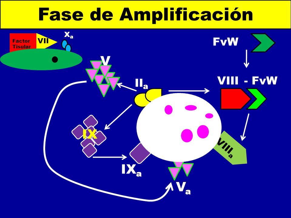IX a - FvW Fase de Amplificación Factor Tisular VII a XaXa FvW VIII a VaVa II a IX V VIII