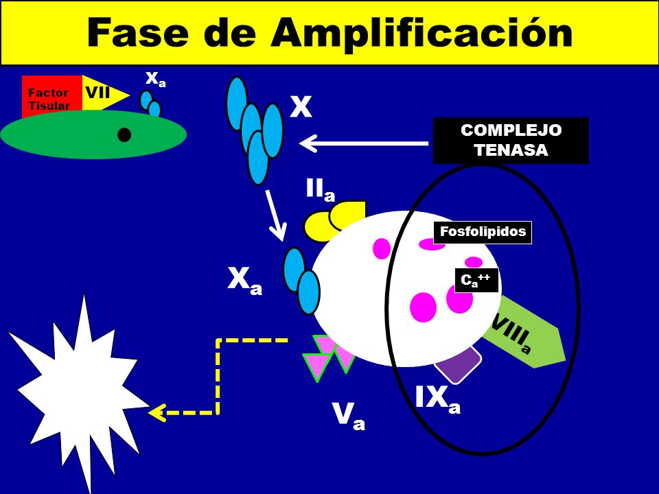 IX a Fase de Amplificación Factor Tisular VII a XaXa VIII a II a C a ++ Fosfolipidos COMPLEJO TENASA XaXa VaVa X