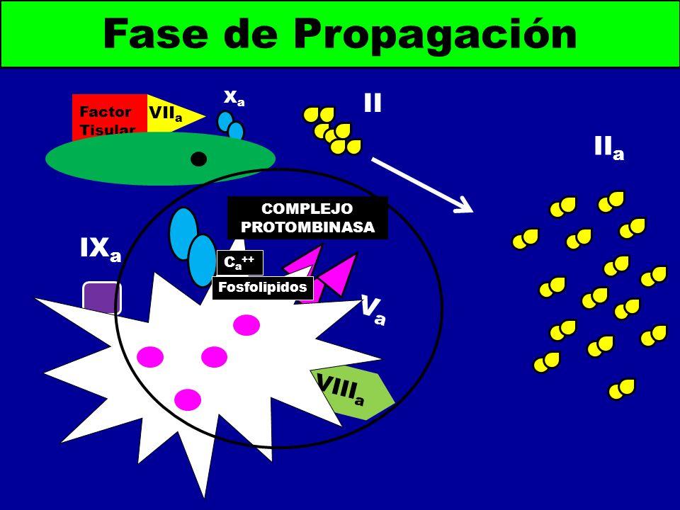 II a Fase de Propagación Factor Tisular VII a XaXa II VaVa VIII a IX a C a ++ Fosfolipidos COMPLEJO PROTOMBINASA