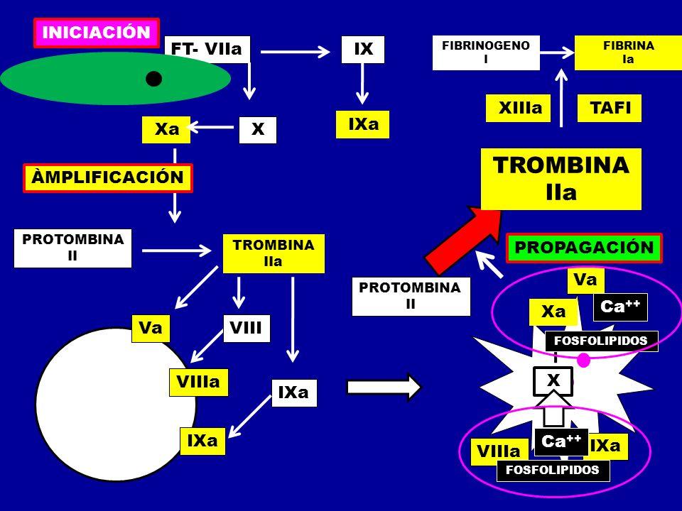FT- VIIa IX X Xa IXa PROTOMBINA II TROMBINA IIa Va VIIIa IXa VIII IXa Xa Va X PROTOMBINA II TROMBINA IIa FIBRINOGENO I FIBRINA Ia XIIIa TAFI INICIACIÓ