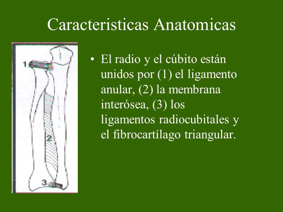 Caracteristicas Anatomicas El radio y el cúbito están unidos por (1) el ligamento anular, (2) la membrana interósea, (3) los ligamentos radiocubitales