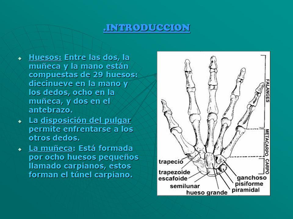 .INTRODUCCION Huesos: Entre las dos, la muñeca y la mano están compuestas de 29 huesos: diecinueve en la mano y los dedos, ocho en la muñeca, y dos en