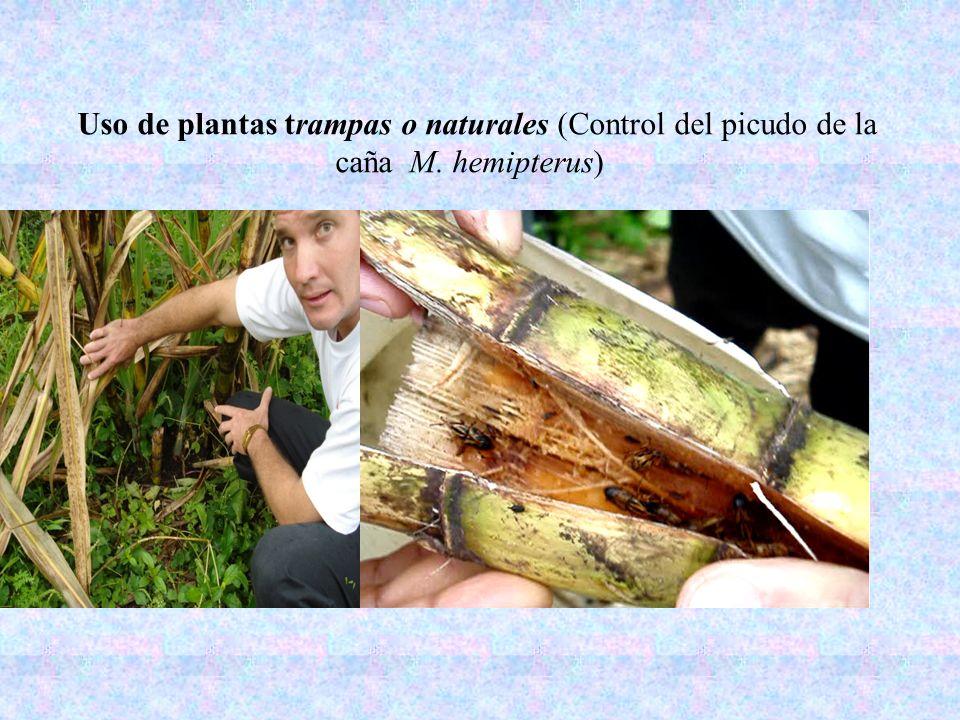 Uso de plantas trampas o naturales (Control del picudo de la caña M. hemipterus)