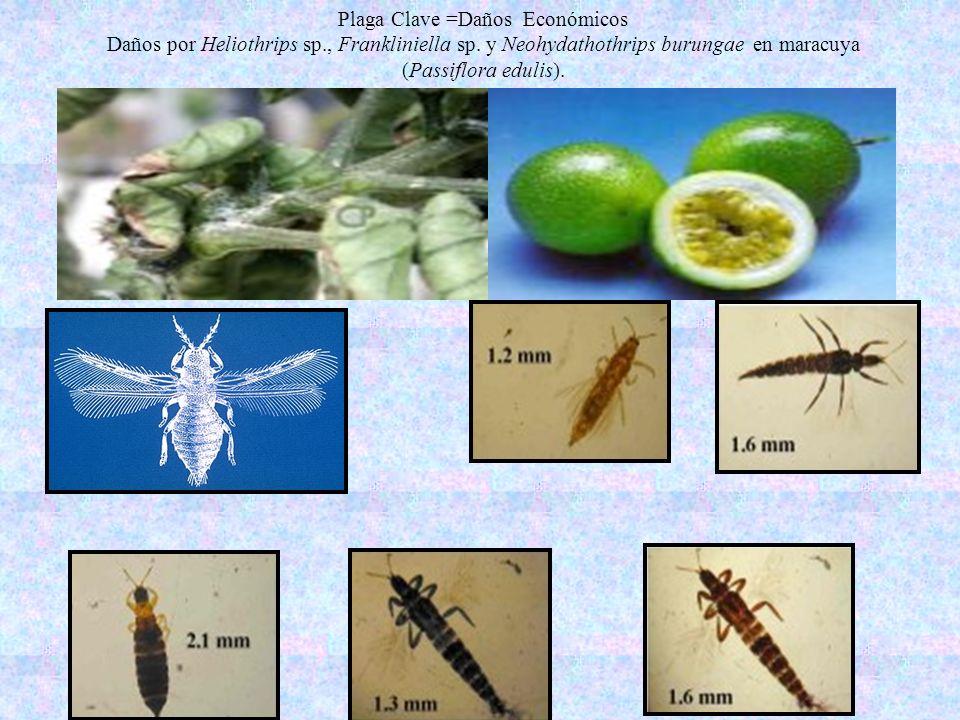 Plaga Clave =Daños Económicos Daños por Heliothrips sp., Frankliniella sp. y Neohydathothrips burungae en maracuya (Passiflora edulis).