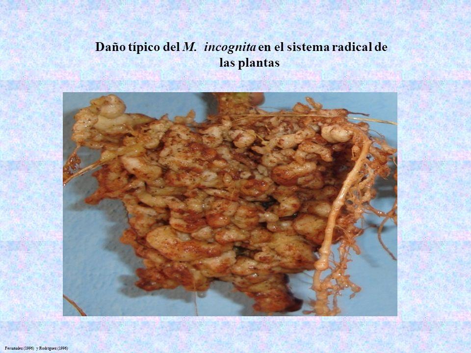 Fernández (1996) y Rodríguez (1996) Daño típico del M. incognita en el sistema radical de las plantas