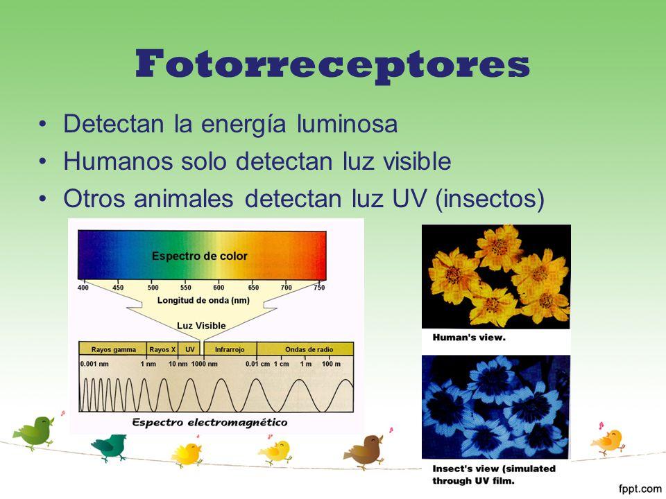 Fotorreceptores Detectan la energía luminosa Humanos solo detectan luz visible Otros animales detectan luz UV (insectos)