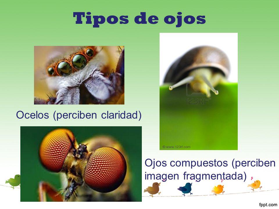 Ocelos (perciben claridad) Ojos compuestos (perciben imagen fragmentada)