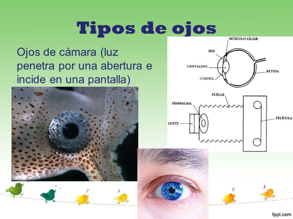 Tipos de ojos Ojos de cámara (luz penetra por una abertura e incide en una pantalla)