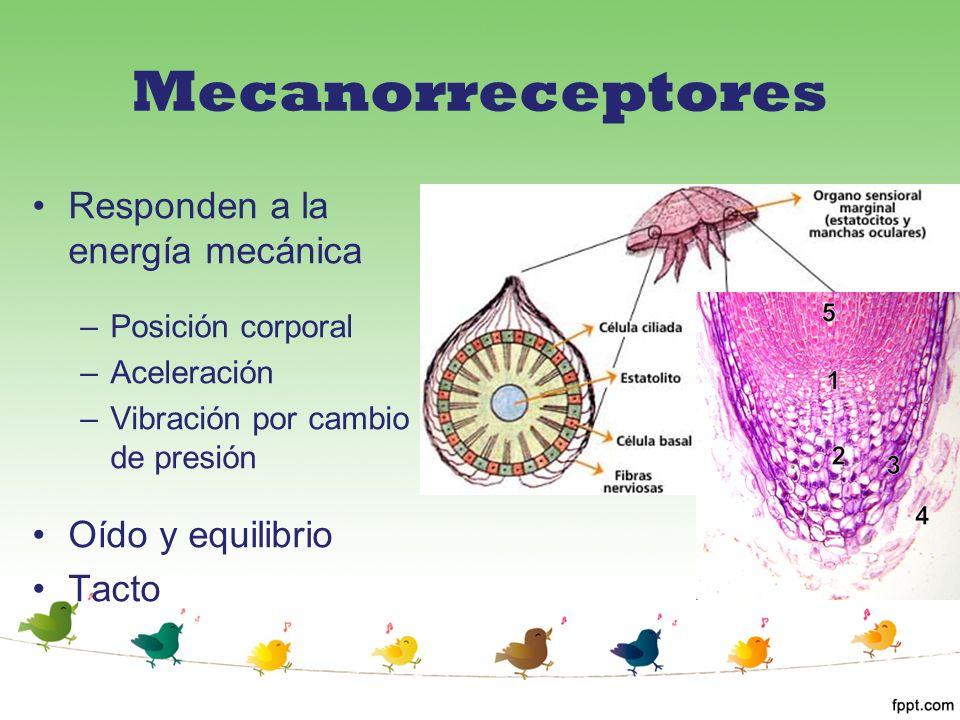 Mecanorreceptores Responden a la energía mecánica –Posición corporal –Aceleración –Vibración por cambio de presión Oído y equilibrio Tacto