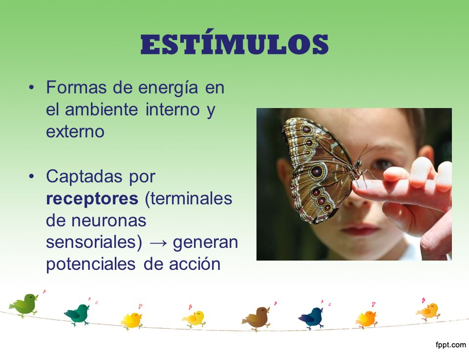 ESTÍMULOS Formas de energía en el ambiente interno y externo Captadas por receptores (terminales de neuronas sensoriales) generan potenciales de acció