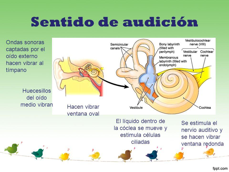 Sentido de audición Ondas sonoras captadas por el oído externo hacen vibrar al tímpano Huecesillos del oído medio vibran Hacen vibrar ventana oval El