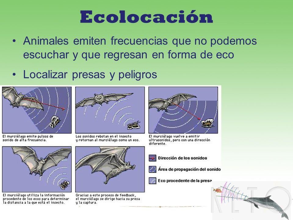 Ecolocación Animales emiten frecuencias que no podemos escuchar y que regresan en forma de eco Localizar presas y peligros