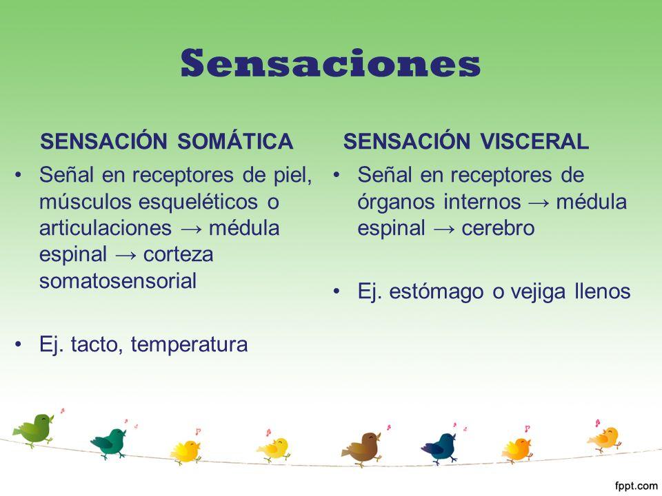 Sensaciones SENSACIÓN SOMÁTICA Señal en receptores de piel, músculos esqueléticos o articulaciones médula espinal corteza somatosensorial Ej. tacto, t