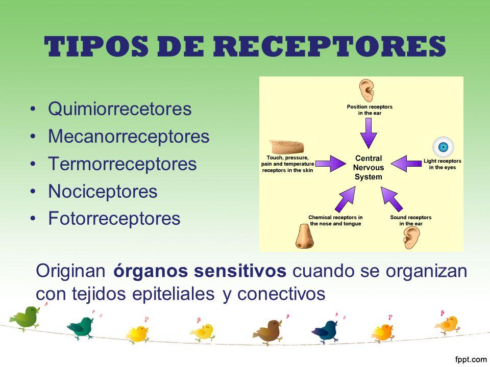 TIPOS DE RECEPTORES Quimiorrecetores Mecanorreceptores Termorreceptores Nociceptores Fotorreceptores Originan órganos sensitivos cuando se organizan c