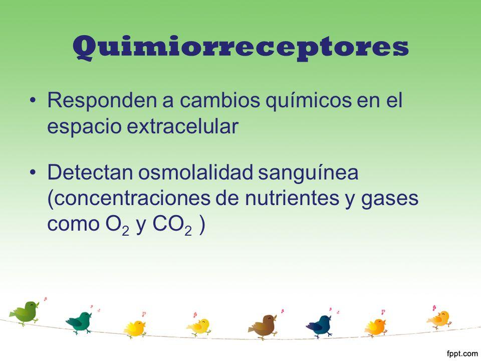 Quimiorreceptores Responden a cambios químicos en el espacio extracelular Detectan osmolalidad sanguínea (concentraciones de nutrientes y gases como O