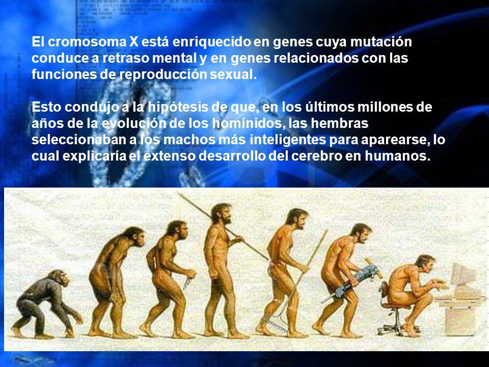 El cromosoma X está enriquecido en genes cuya mutación conduce a retraso mental y en genes relacionados con las funciones de reproducción sexual. Esto