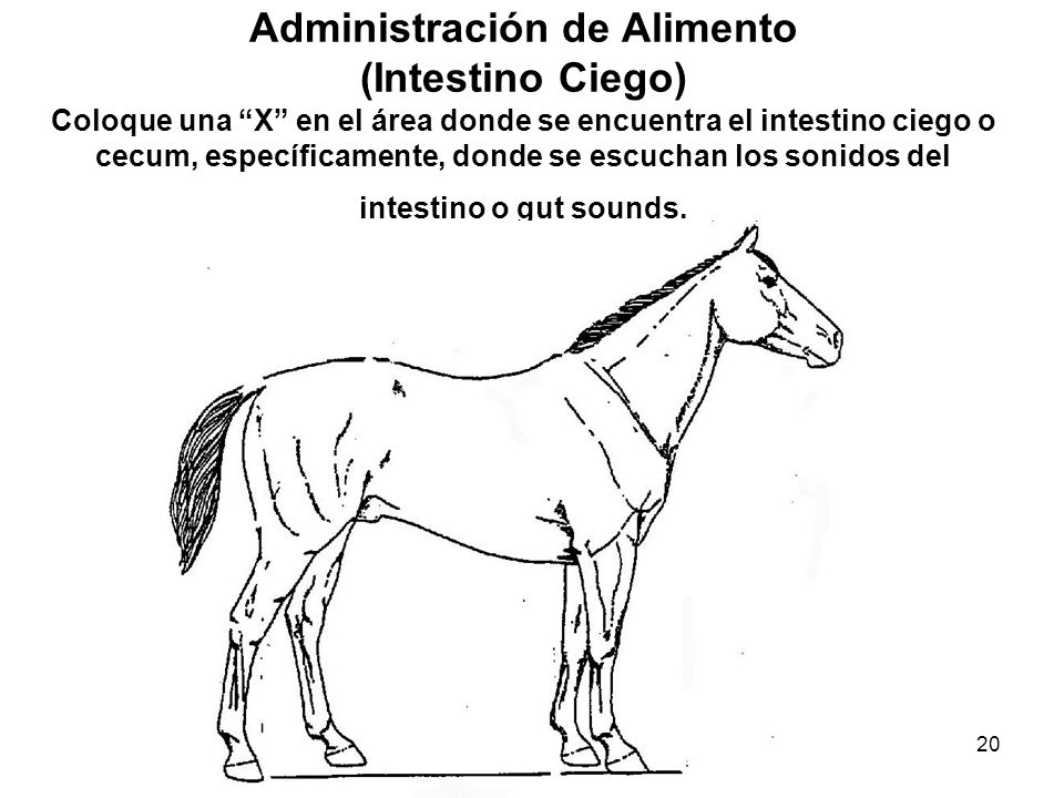 20 Administración de Alimento (Intestino Ciego) Coloque una X en el área donde se encuentra el intestino ciego o cecum, específicamente, donde se escu