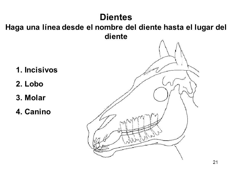 21 Dientes Haga una línea desde el nombre del diente hasta el lugar del diente 1.Incisivos 2.Lobo 3.Molar 4.Canino