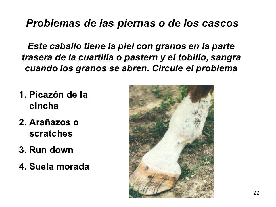 22 Problemas de las piernas o de los cascos Este caballo tiene la piel con granos en la parte trasera de la cuartilla o pastern y el tobillo, sangra c