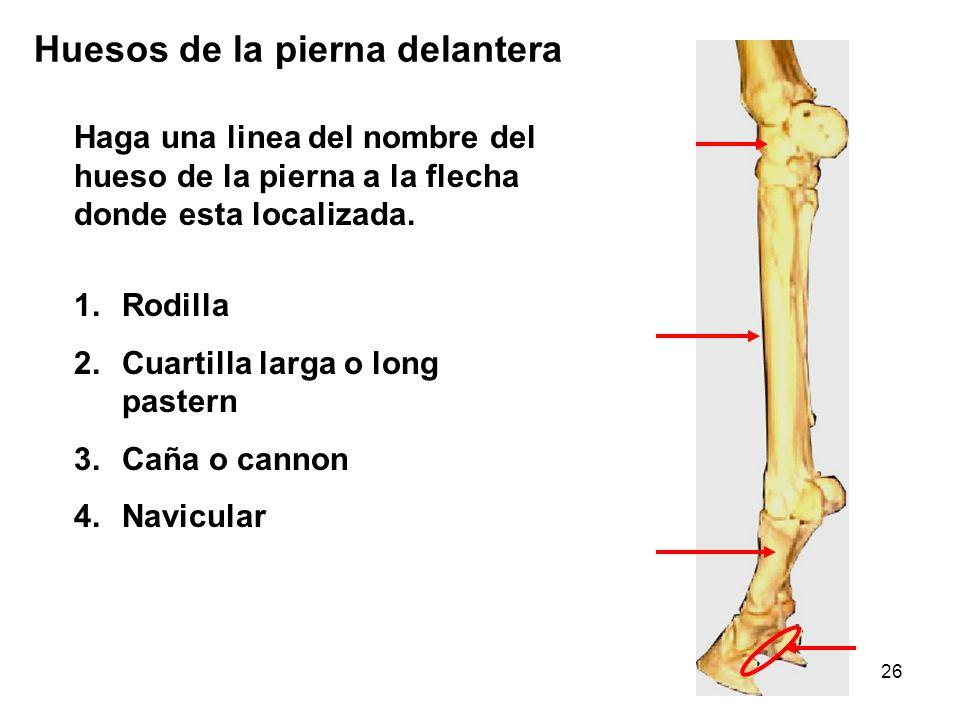 26 Haga una linea del nombre del hueso de la pierna a la flecha donde esta localizada. Huesos de la pierna delantera 1.Rodilla 2.Cuartilla larga o lon