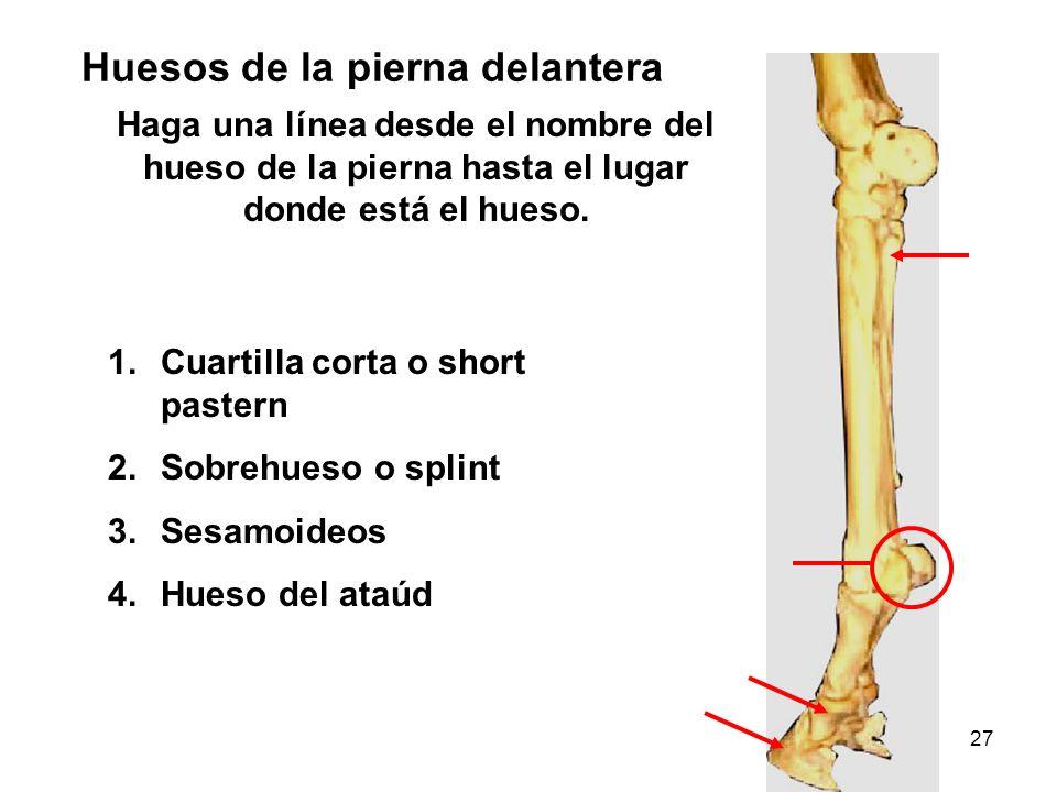 27 Huesos de la pierna delantera Haga una línea desde el nombre del hueso de la pierna hasta el lugar donde está el hueso. 1.Cuartilla corta o short p
