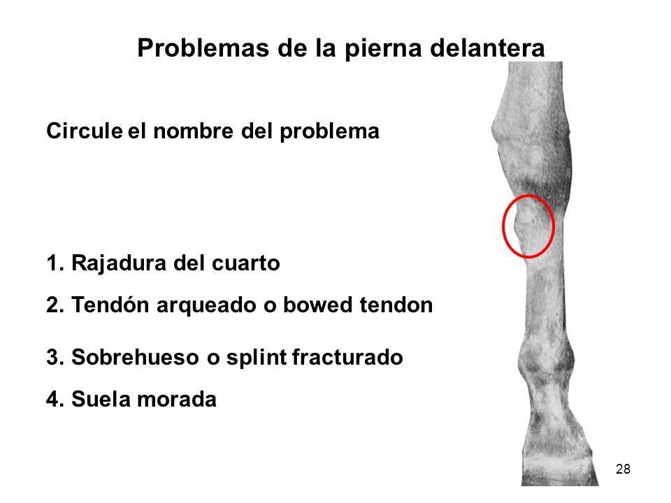 28 Problemas de la pierna delantera Circule el nombre del problema 1.Rajadura del cuarto 2.Tendón arqueado o bowed tendon 3.Sobrehueso o splint fractu