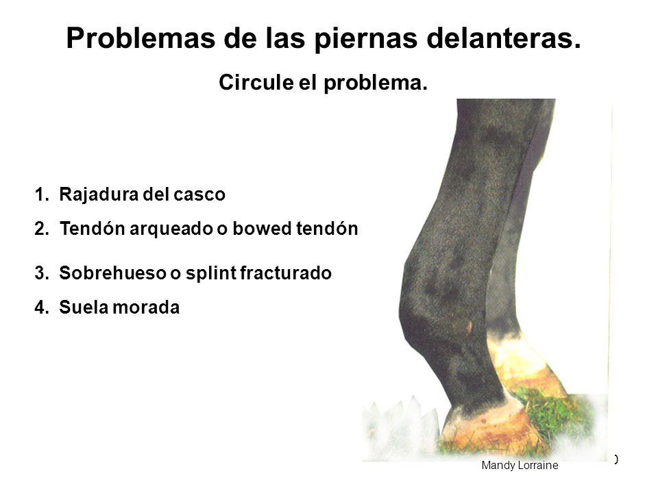 30 Problemas de las piernas delanteras. Circule el problema. 1.Rajadura del casco 2.Tendón arqueado o bowed tendón 3.Sobrehueso o splint fracturado 4.