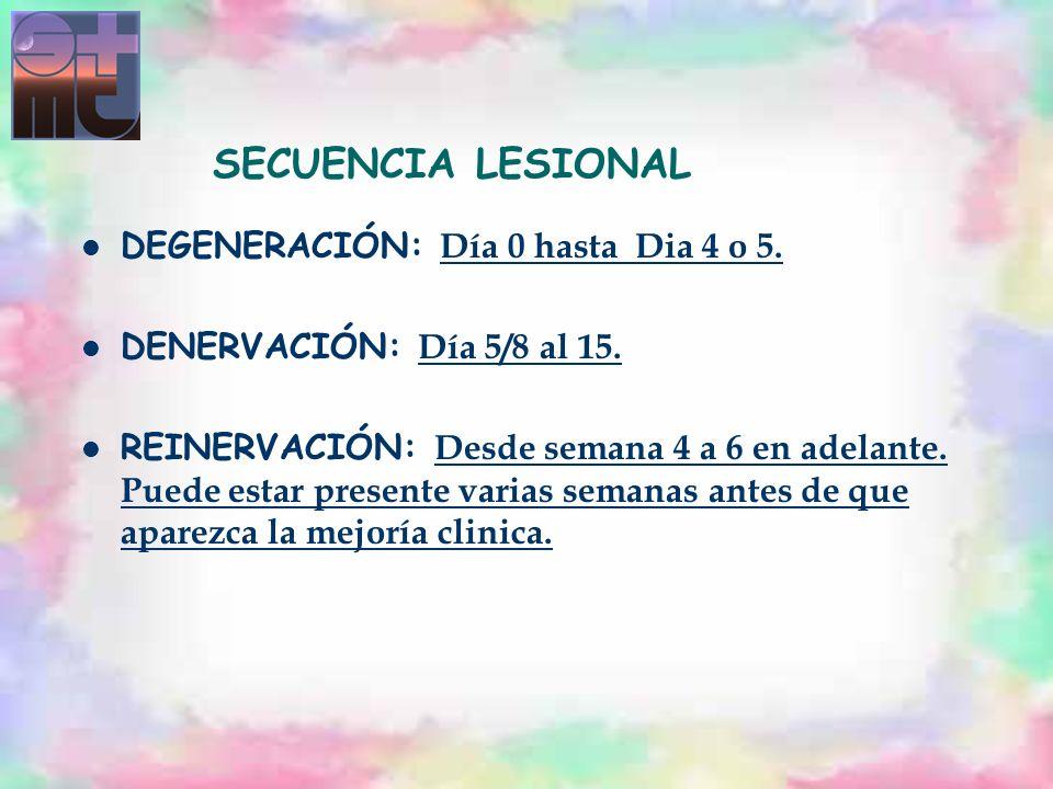 SECUENCIA LESIONAL DEGENERACIÓN: Día 0 hasta Dia 4 o 5. DENERVACIÓN: Día 5/8 al 15. REINERVACIÓN: Desde semana 4 a 6 en adelante. Puede estar presente