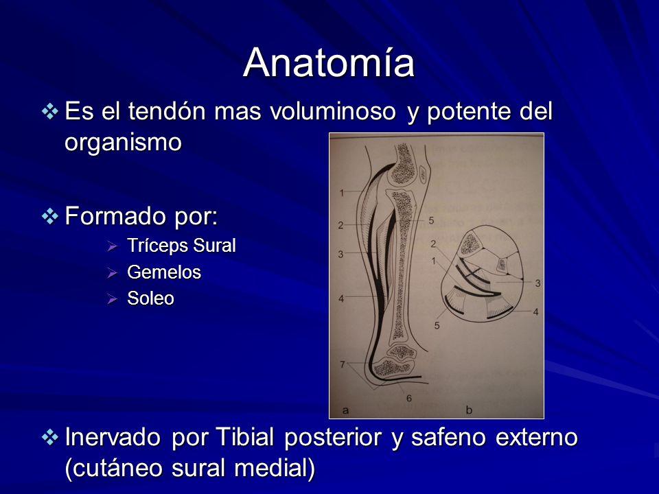 Anatomía Es el tendón mas voluminoso y potente del organismo Es el tendón mas voluminoso y potente del organismo Formado por: Formado por: Tríceps Sur
