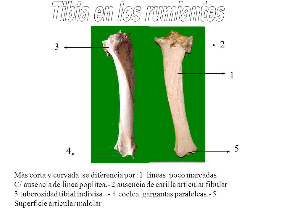 Màs corta y curvada se diferencia por :1 lineas poco marcadas C/ ausencia de linea poplitea.- 2 ausencia de carilla articular fibular 3 tuberosidad ti