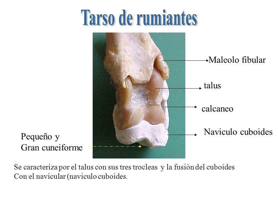 Se caracteriza por el talus con sus tres trocleas y la fusiòn del cuboides Con el navicular (naviculo cuboides. talus calcaneo Naviculo cuboides Peque