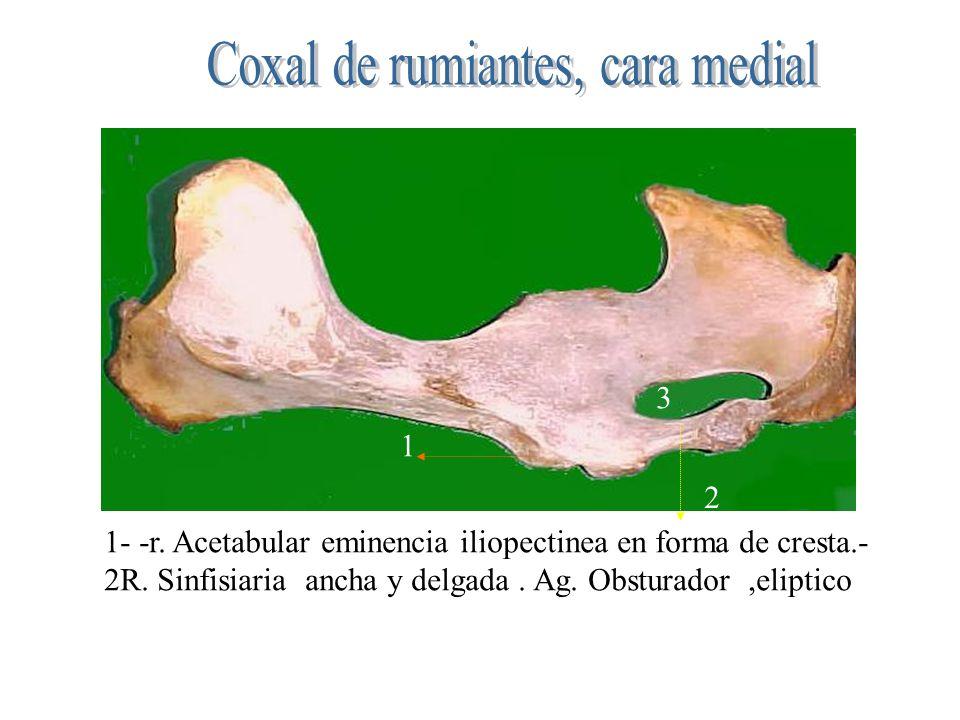 1 2 3 1- -r. Acetabular eminencia iliopectinea en forma de cresta.- 2R. Sinfisiaria ancha y delgada. Ag. Obsturador,eliptico