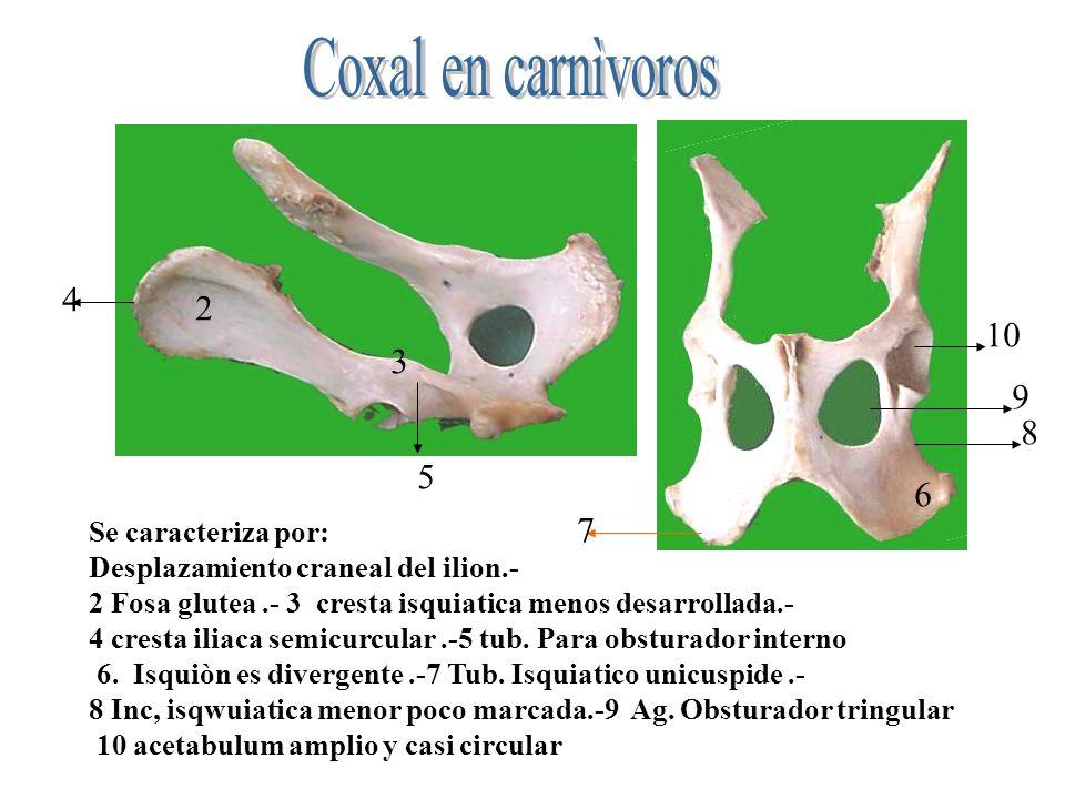 Se caracteriza por: Desplazamiento craneal del ilion.- 2 Fosa glutea.- 3 cresta isquiatica menos desarrollada.- 4 cresta iliaca semicurcular.-5 tub. P