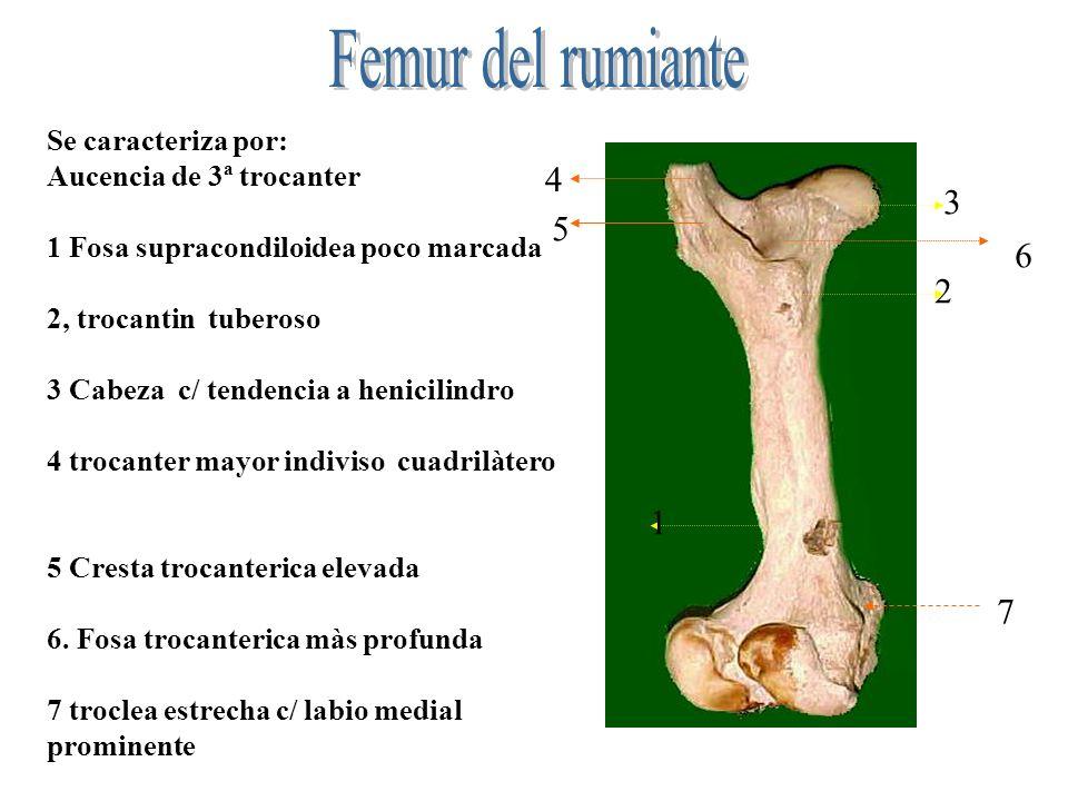 Se caracteriza por tener cuerpo Cuadrilàtero y ausencia de 3ª trocanter.